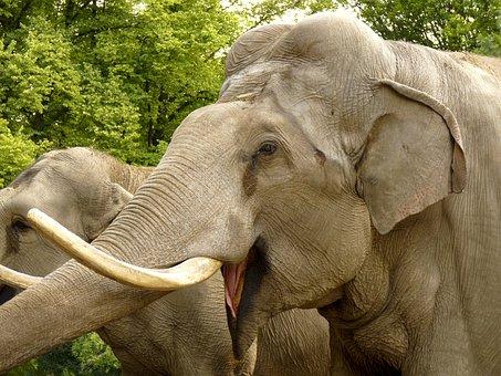 Elephant, Animal, Zoo, Proboscidea, Tusks, Mammals