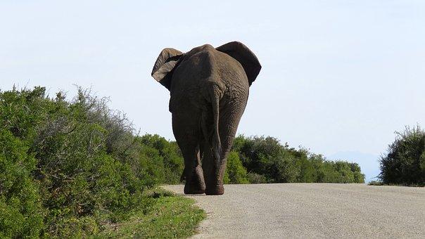 Elephant, Big, Large, Wildlife, Nature, Mammal, African