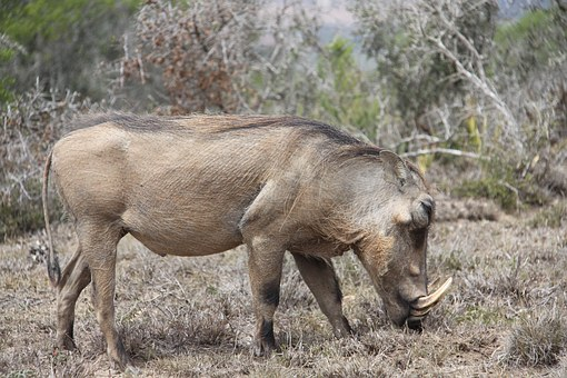 Warthog, Safari, South Africa, Sun, Nature, Wildlife