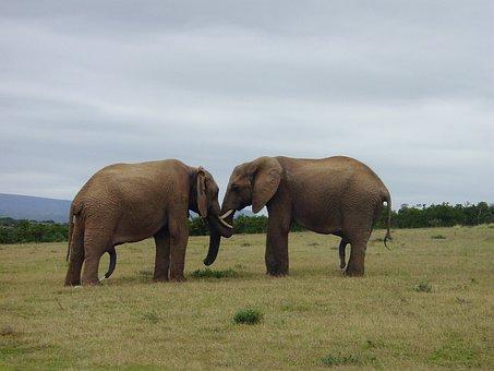 Elephant, Friendship, Pachyderm, Proboscis, Together