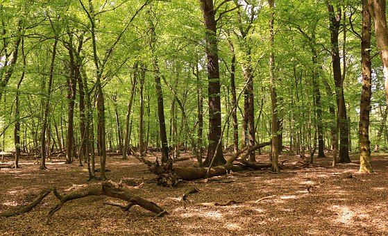 Forest, Trees, Beech Wood, Nature, Landscape, Root