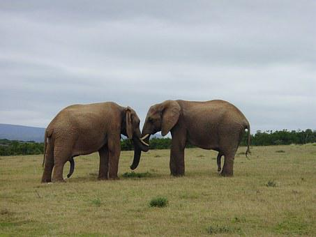 Elephant, Friendship, Pachyderm, Proboscis, Together