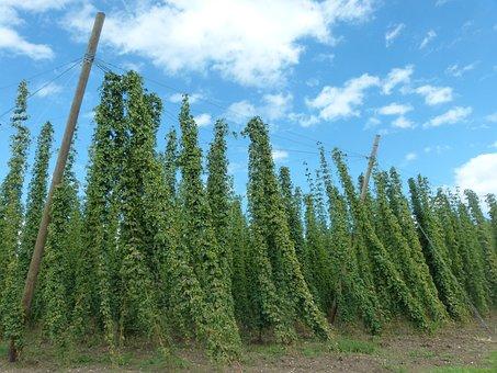 Hops, Plant, Umbel, Hops Fruits, Cultivation, Bavaria
