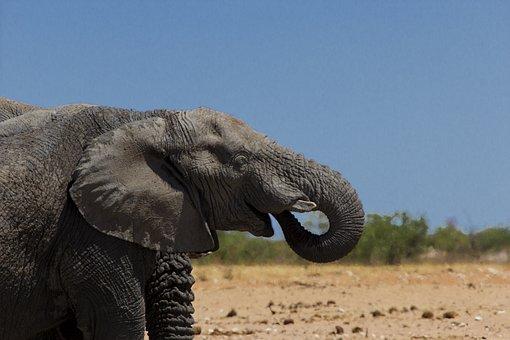 Elephant, Animal, Wild, Nature, Mammal, Big, Wildlife