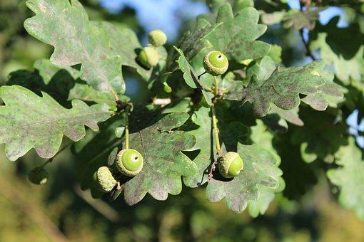 Acorn, Leaf, Oak Tree, Leaves, Summer, Wood