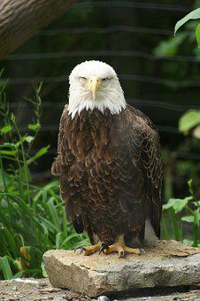 Eagle, Bird, Zoo, Animal
