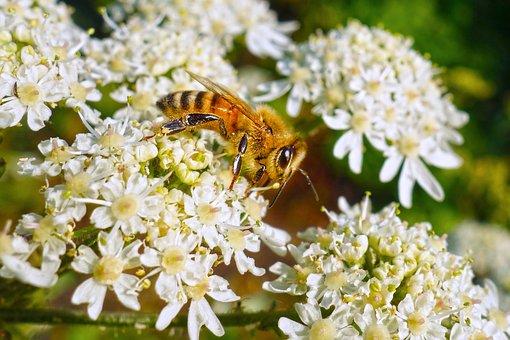 Bee, Insect, Animal, Feeding, Nectar, Honey, Flower