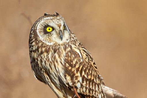 Owl, Bird, Animal, Nature, Wildlife, Predator, Portrait