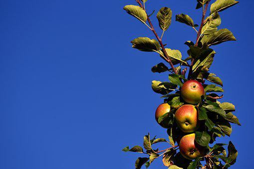 Apple, Apple Tree, Sky, Blue, Branch, Fruit, Grow