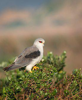 Black-winged Kite, Black-shouldered Kite, Kite, Avian