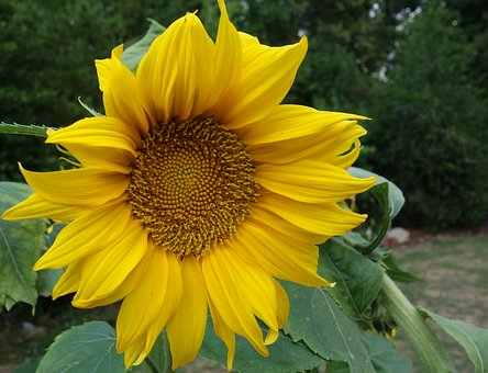 Sun Flower, Garden, Summer, Flower, Blossom, Bloom