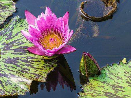 Flower, Water Lily, Pond Flower, Garden Pond, Blossom