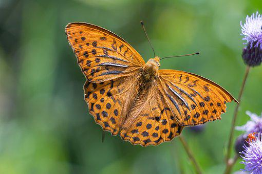 Fritillary, Butterfly, Insect, Orange
