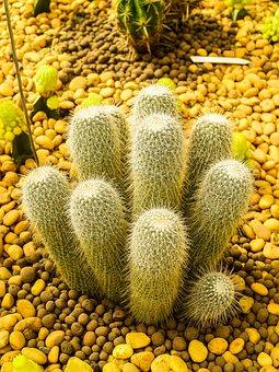Cactus, Desert, Plant, Green, Nature, Garden, Succulent