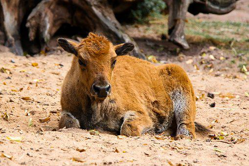 Animal World, Calf, Buffalo, Bison, Farm, Resting