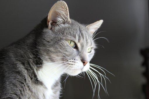 Cat, Animal, Pet, Portrait, Feline