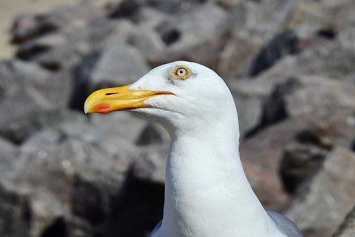 Common Tern, Bird, Beak, Portrait
