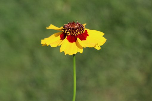 Coreopsis, Yellow, Red, Flower, Floral, Botanical