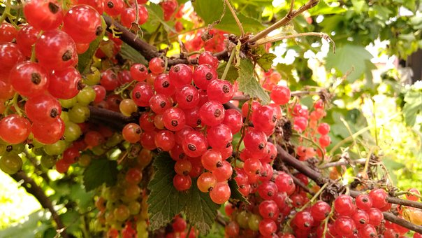 Currant, Nature, Garden, Vegetable Garden, Berry, Fruit
