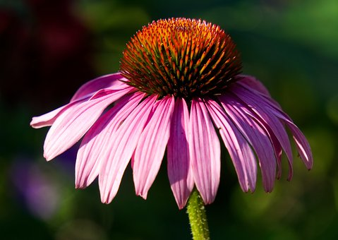 Echinacea, Blossom, Bloom, Bloom, Purple, Nature
