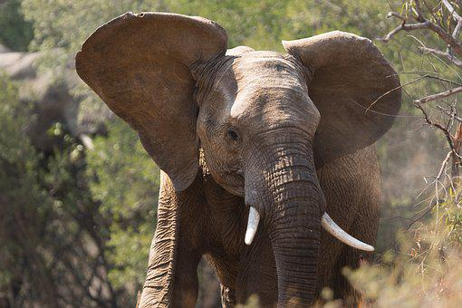 Africa, African, Bush, Elephant, Wildlife, Animal, Big