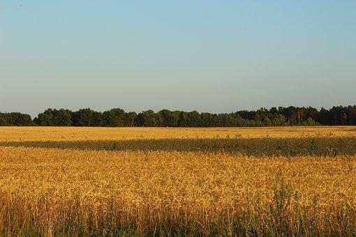 Field, Cereals, Landscape, Griese Area, Harvest, Wheat