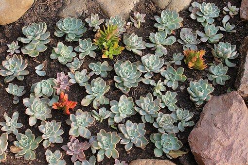 Succulent, Garden, Plants, Nature, Flora, Botanical