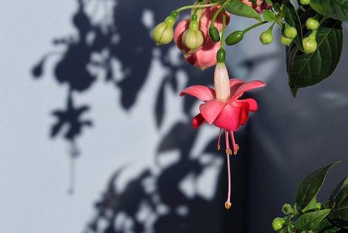 Fuchsia, Flower, Blossom, Colors, Spring, Flora, Plant