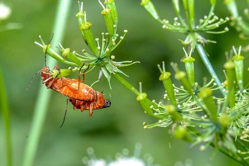 Orange, Beetle, Nature, Summer, Macro, Flower, Garden