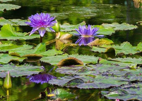 Flowers, Water Lilies, Garden Pond, Bloom