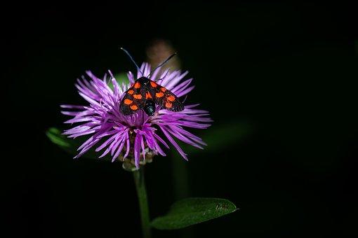 Flower, Forest-knapweed, Forest Flower, Blossom, Bloom