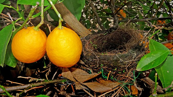 Bird Nest, Lemon, Tree, Nature, Garden