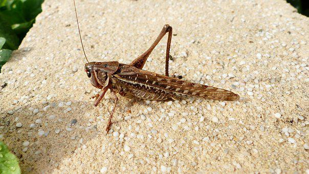 Grasshopper, Close Up, Insects, Colorful, Outside