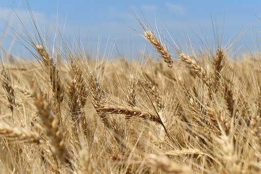 Wheat, Field, Harvest, Nature, Cereals, Wheat Field