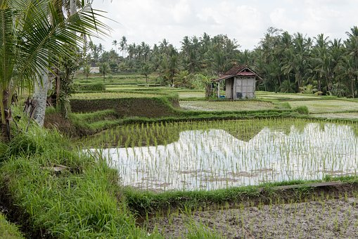 Rice Paddies, Rice Paddy, Rice Field, Rice, Harvest