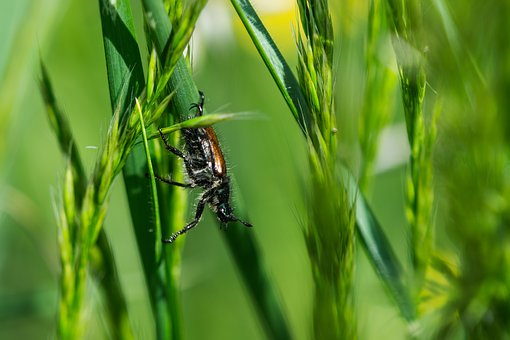 Beetle, Hairy, Macro, Insect, Nature, Fly, Close Up