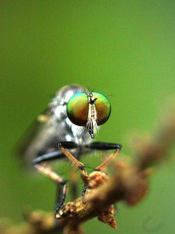 Fly, Insect, Robber Fly, Nature, Bug, Eyes, Portrait