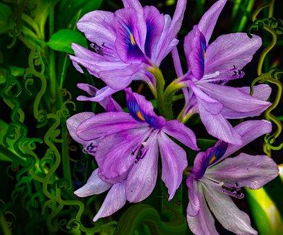 Iris Versicolor, Blue Flag Iris, Harlequin Blueflag