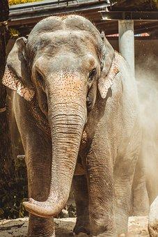 Elephant, Zoo, Large, Grey, Mammal, Enormous, Proboscis