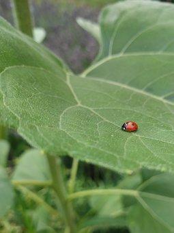 Ladybug, Leaf, Beetle, Garden