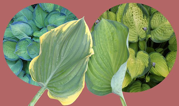 Hosta, Plantain Lily, Leaf, Leaves, Ribbed, Woodland