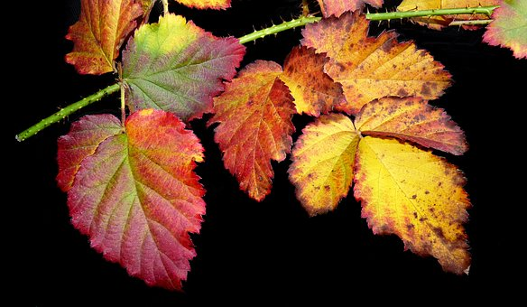 Leaves, Loganberry, Autumn, Fall, Garden, Season