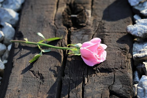 Pink Rose On Railway, Loving Memory, Pink Petals