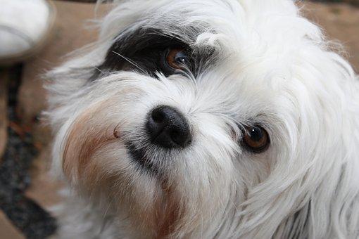 Maltese, Shih Cricket, Black, White, Dog, Cute, Sweet