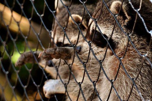 Raccoon, Begging, Wild Animal, Furry, Mammal, Sweet