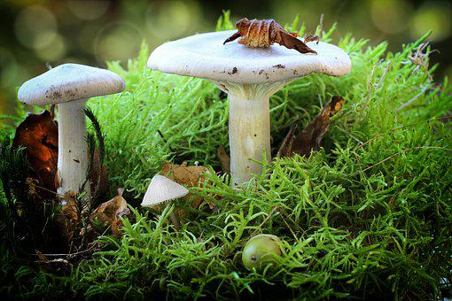Mushrooms, White, Lamellar, Acorn, Moss, Leaves, Nature
