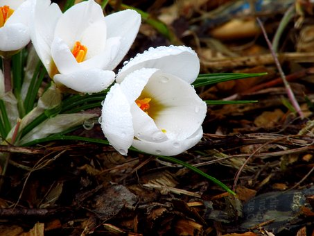 Crocus, Flower, Nature, Spring, Plant, Bloom, Blossom