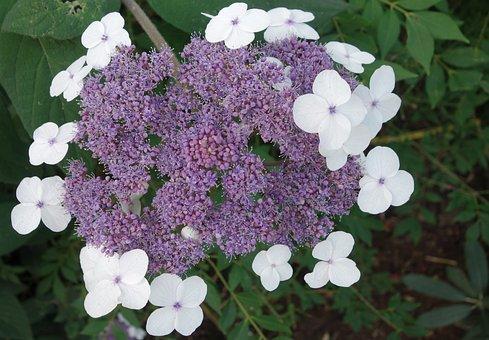 Hydrangea, Garden, Flower, Nature, Plant, Blossom
