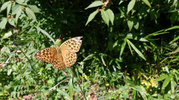 Butterfly, Nature, Insect, Orange, Dotted