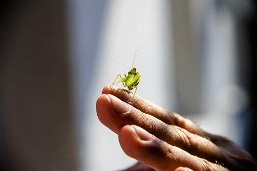 Praying Mantis, Insect, Nature, Macro, Green, Beetle